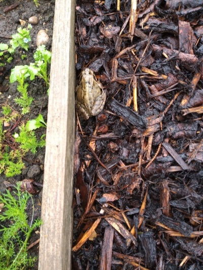 Frog in mulched area